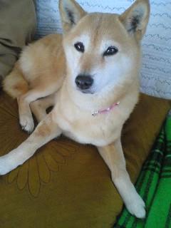 【写真】我が家の愛犬。現在13歳。人間換算で68歳。
