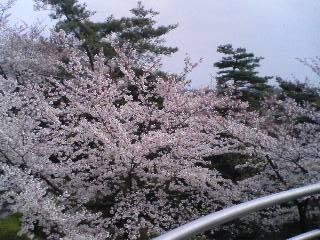 【写真】知北平和公園の桜。少し散りはじめ