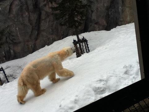 【写真】白熊。でかい。