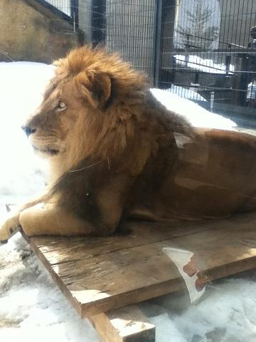 【写真】黄昏ているライオン